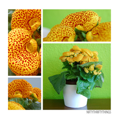 calceolaria_feat