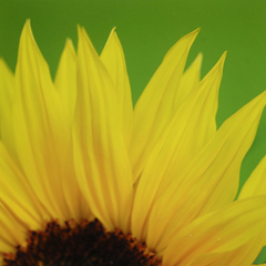 sunflower_feat