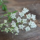 cow_parsley02