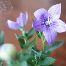 balloon_flower1