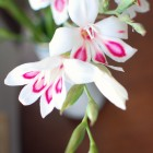 miniature gladiolus by {nifty thrifty things}