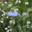 love-in-a-mist from {nifty thrifty things}
