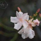 oleander from {nifty thrifty things}