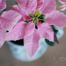 princettia poinsettia from {nifty thrifty things}