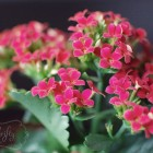 kalanchoe from {nifty thrifty things}