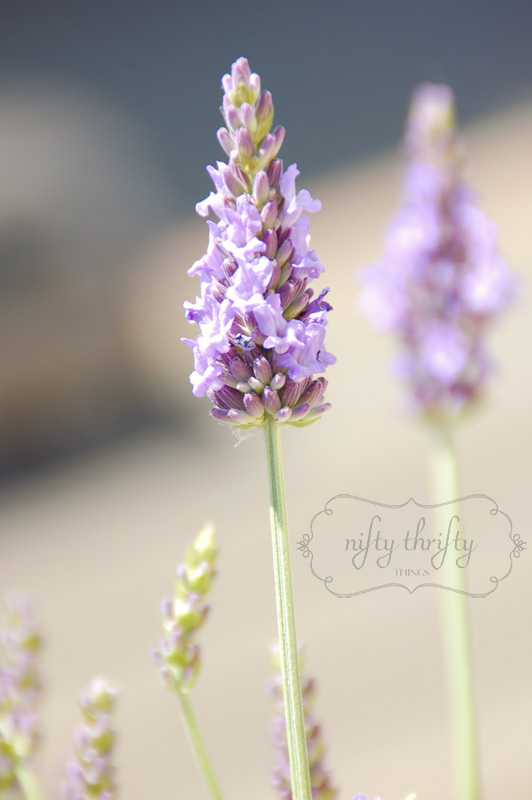 lavender from {nifty thrifty things}