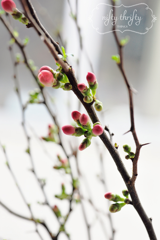 flowering quince from {nifty thrifty things}